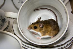 mouse extermination